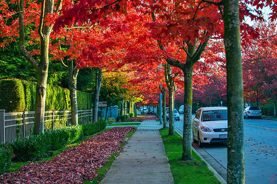 加拿大秋景枫叶红