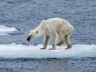 摄影师拍到饿成猴子的北极熊