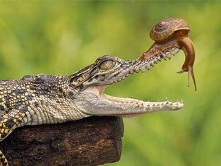 大胆蜗牛将头伸进鳄鱼口中探视