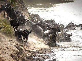 肯尼亚角马过河遭巨鳄扑杀激烈瞬间