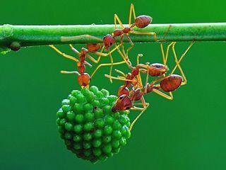 摄影师用微距镜头记录蚂蚁团结一致